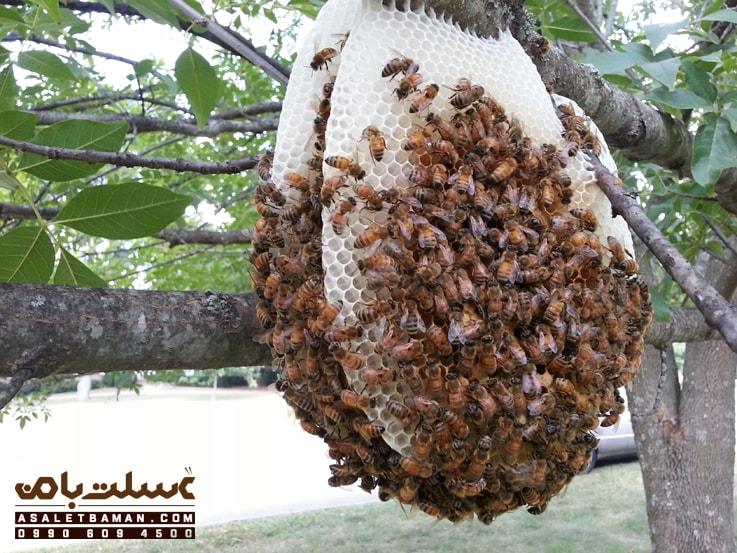 فروش عسل وحشی عسلت با من